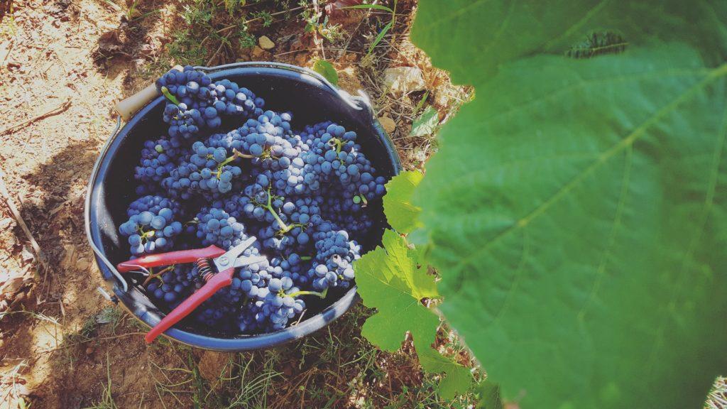 Regione:Gallo, risorse per oltre 1 mln euro a vitivinicoltori