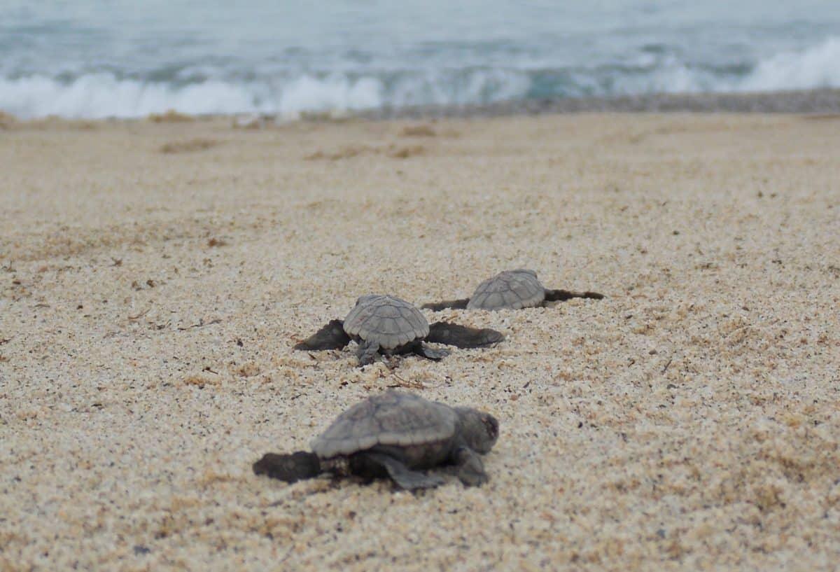 Appello del WWF: Proteggiamo le spiagge delle tartarughe e del fratino