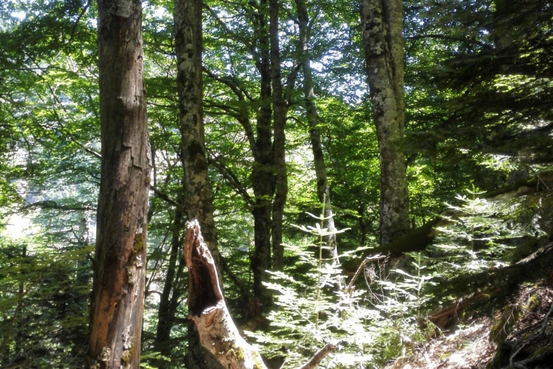 Parco Aspromonte: faggeta vetusta di Valle Infernale tra i patrimoni mondiali dell'Umanità Unesco